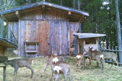 Tipps für die Fütterung mit Ennstaler Wildfutter