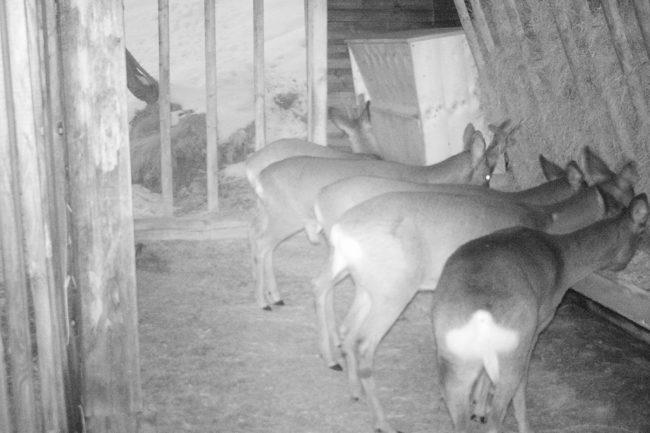 Ruhiges Verhalten bei Fütterung mit Ennstaler Wildfutter
